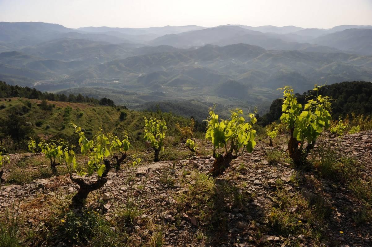 Ficaria Vins.jpg